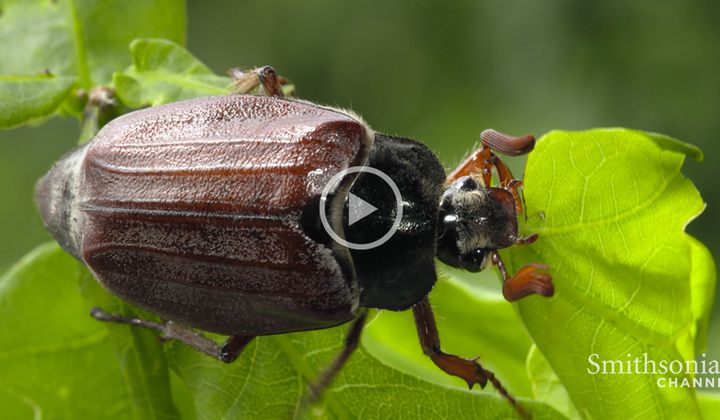 Why Beetles Are Such an Evolutionary Success