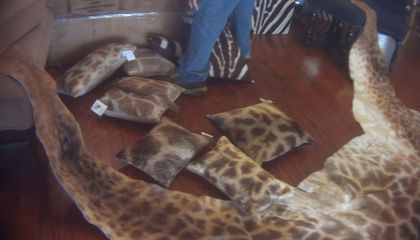 Americans Have a Surprisingly Large Appetite for Giraffe Parts