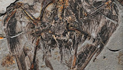 A Deep Dive Into the Skeleton of the Oldest-Known Modern Bird