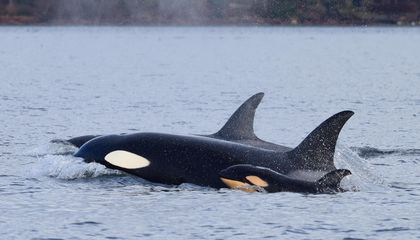 A Male Orca and Its Mother Worked Together to Kill a Newborn Calf