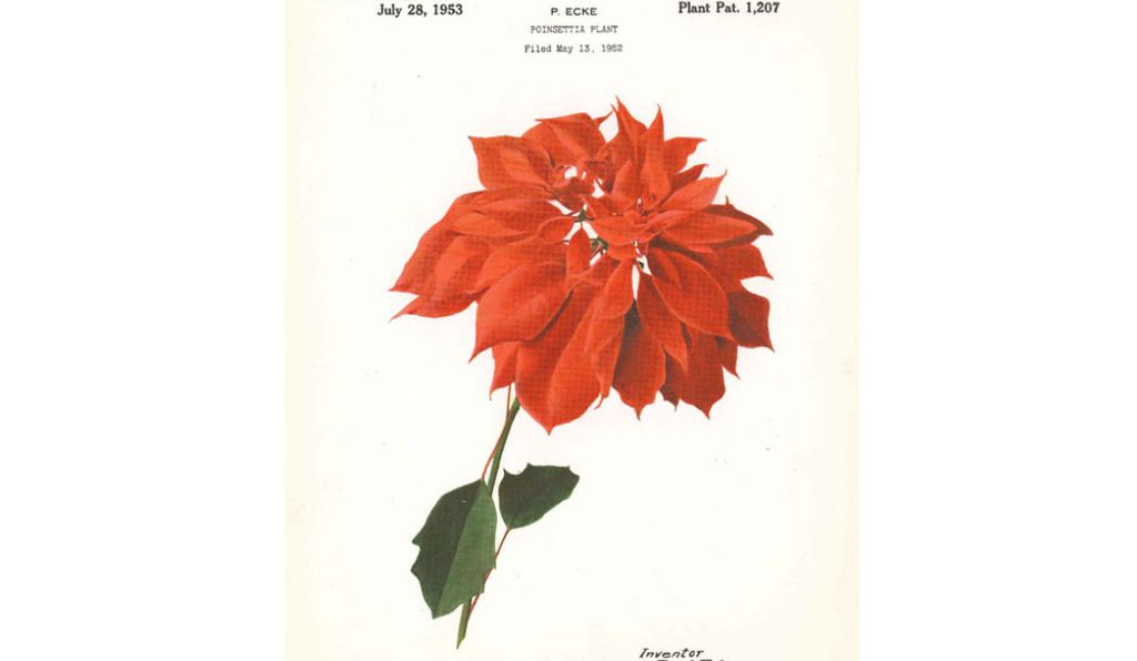 An early poinsettia patented by Paul Ecke Sr., the man many say is responsible for helping the plant become known as the