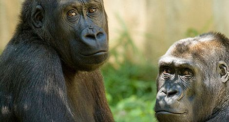 What are the National Zoo's gorillas plotting?