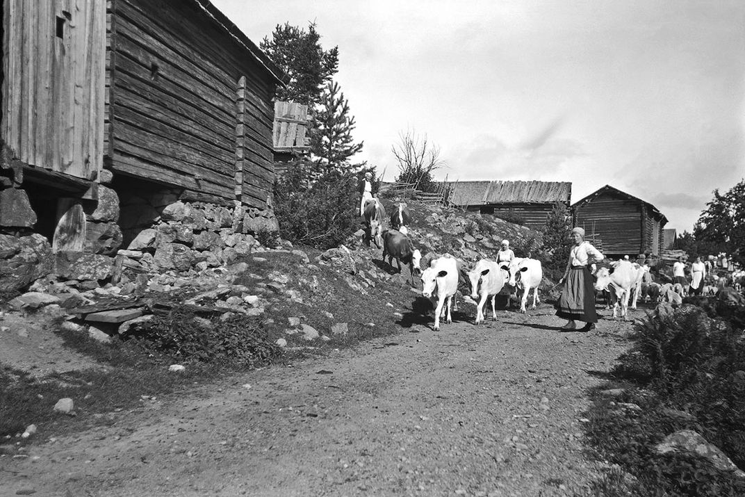 Fäbod women and cows