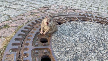 Chubby Rat Stuck in Manhole Cover Rescued by Fearless Firefighters