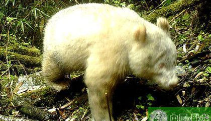 For the First Time, an Albino Panda Is Photographed in the Wild