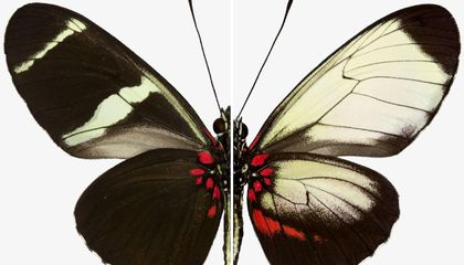 Scientists Identify the Genes That Paint Butterfly Wings