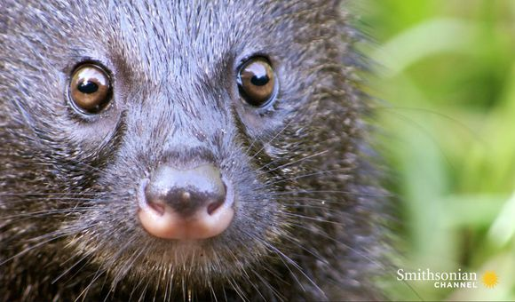 Preview thumbnail for video'A Mongoose and Black Mamba Fight to Death