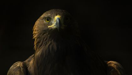 The Deadly and Devious Golden Eagle
