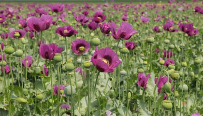 Genome Reveals When Opium Poppy Became a Painkiller