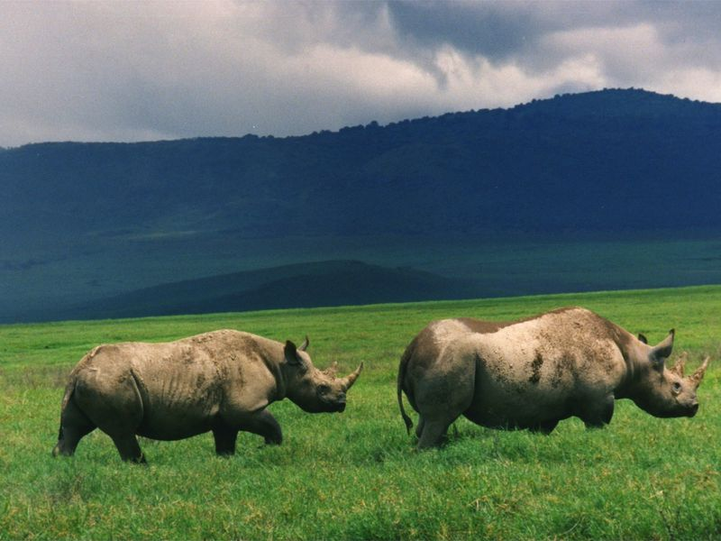 At least seven endangered black rhinos die in Kenya after relocation