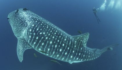 Image: Cracking the mysteries of the elusive, majestic whale shark