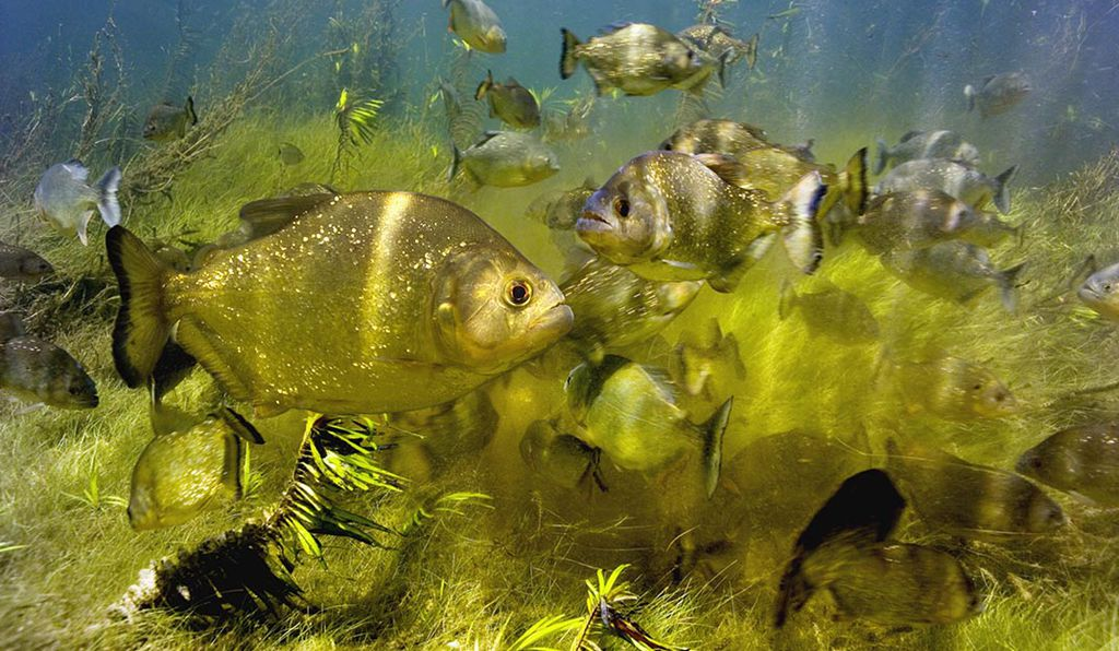 A shoal of piranhas (<em>Serrasalmus</em> sp.). Scary, right?