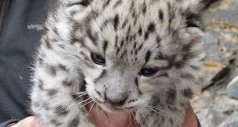 One of the snow leopard cubs discovered in Mongolia's Tost Mountains.