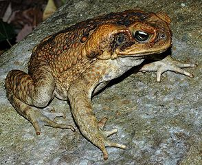 A cane toad is highly toxic and should not be eaten or even licked.