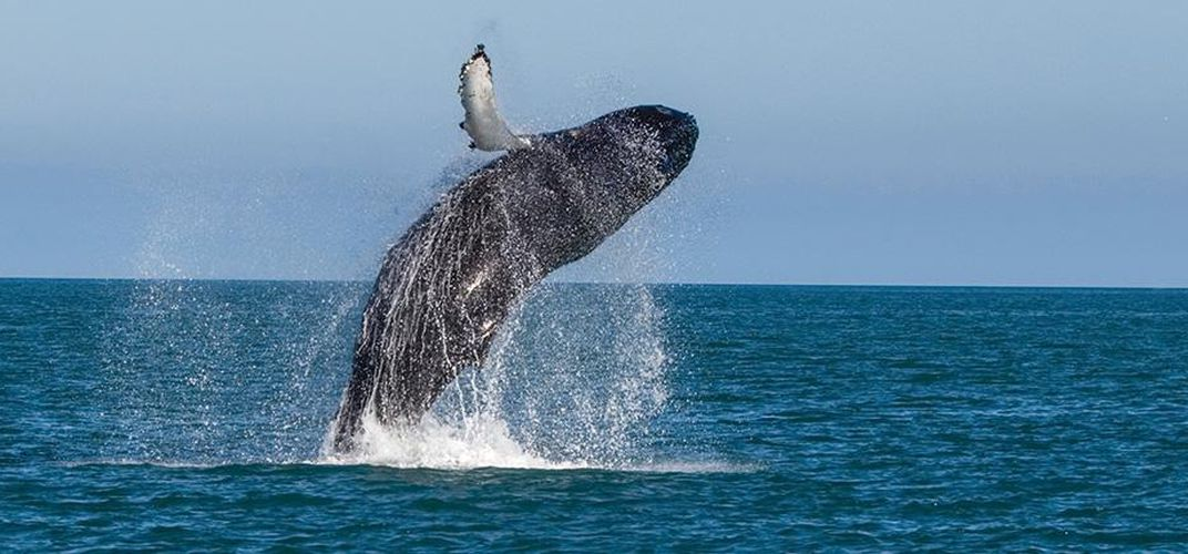 Breaching whale in Icelandic waters
