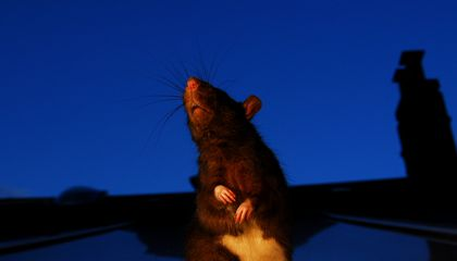For Kiwis' Sake New Zealand Declares War on Rats