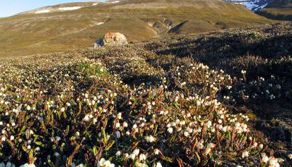 Arctic Plants on the Move Due to Global Warming