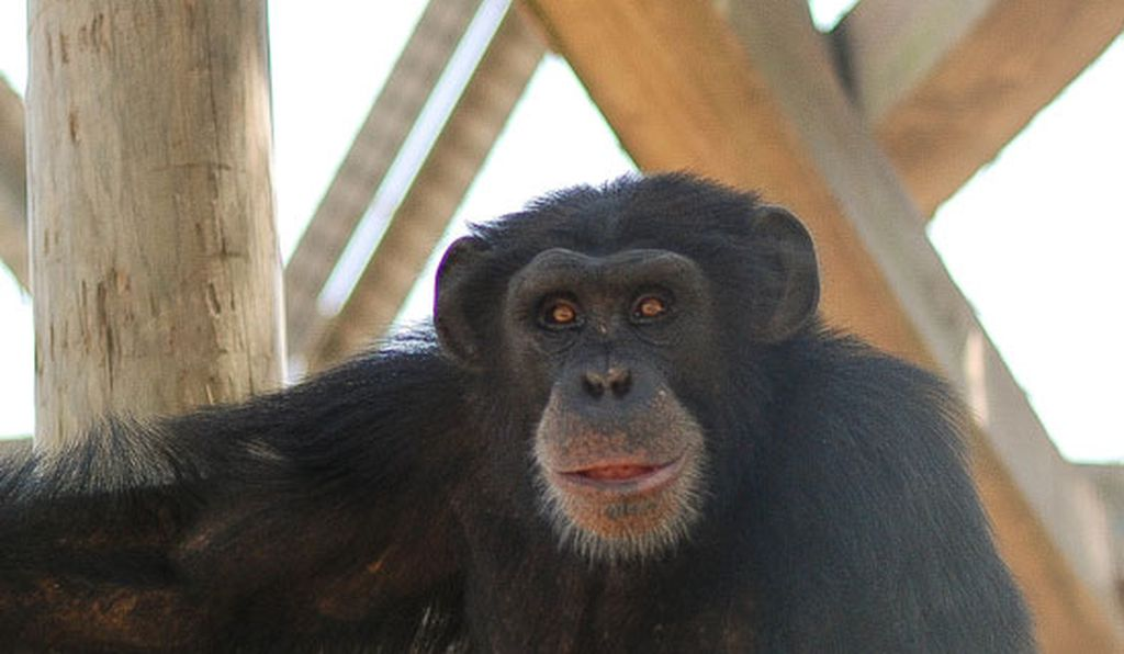Captive chimpanzee at the New Iberia Research Center in Louisiana, where the Ebola vaccine trial for wild chimp conservation was conducted.