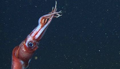 VIDEO: This Deep-Sea Squid Breaks Off Its Own Arms to Confuse Predators