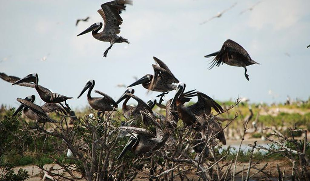 Pelicans land in a restored marsh area around Raccoon Island in Louisiana in 2012.