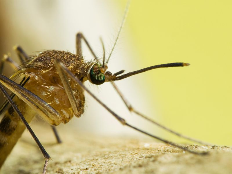 How The Lowly Mosquito Helped America Win Independence Science