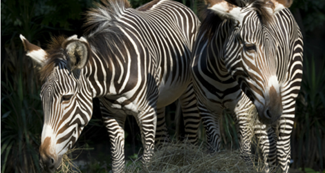 Come to the National Zoo this Saturday for Grevy's Zebra Day, an interactive, family event.