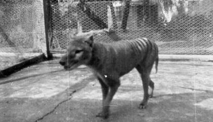 'New' Footage of Benjamin, the Last Tasmanian Tiger Ever Seen Alive