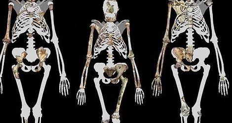 A trio of upright walkers: Lucy (middle) and Australopithecus sediba (left and right)