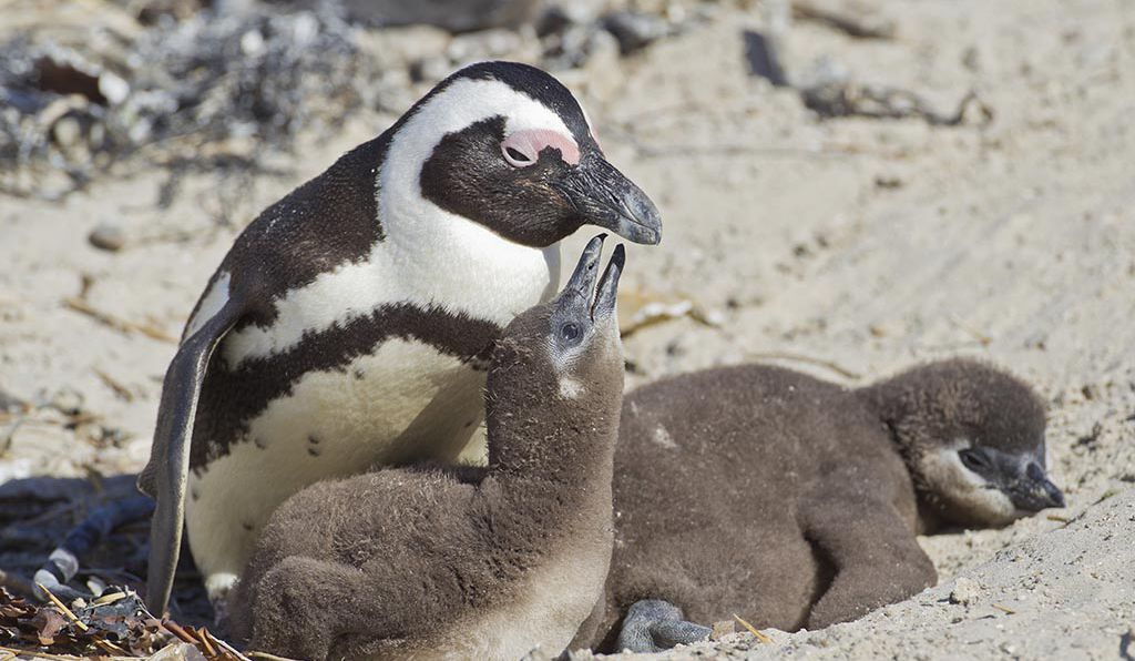 African penguin (<em>Spheniscus demersus</em>) with chicks, at the Boulders Colony, Cape Town, South Africa. Researchers found that penguin chicks emitted two unique sounds: begging moans and peeps.