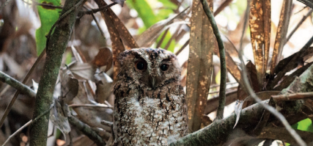 Caption: Owl Documented for First Time Since 1892