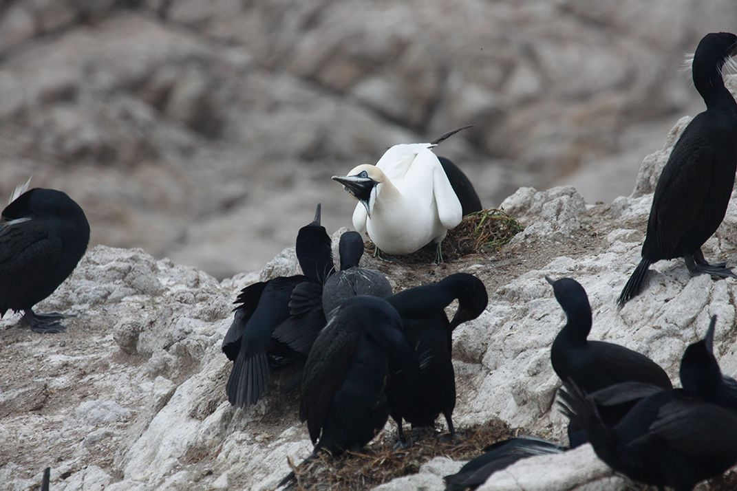 Northern Gannet and Brandt's Cormorants