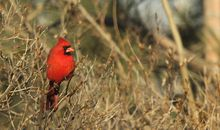 When It Comes to West Nile Virus, Atlanta's Cardinals May Be Our Feathered Saviors