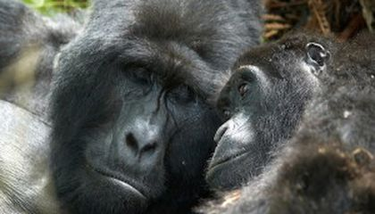 How Many Ugandan Mountain Gorillas?