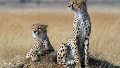 Cheetah Populations Plummet as They Race Toward Extinction