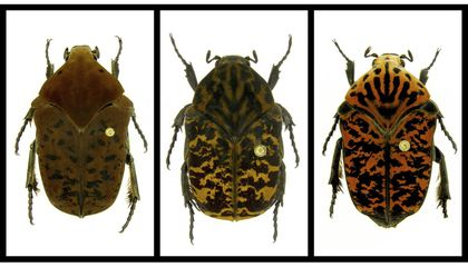 These New Beetle Species Are Named After the 'Game of Thrones' Dragons