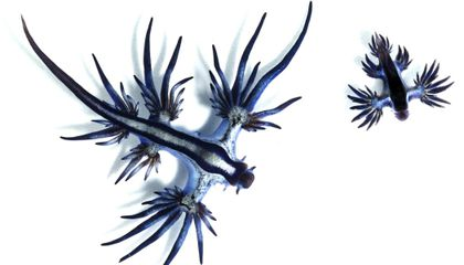 Glaucus Atlanticus: Science Picture of the Week