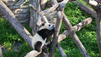 Watch: The Panda Cub's Favorite Game Is Belly Flopping Out of Trees