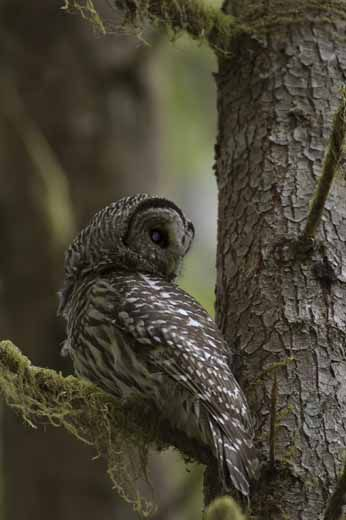 The Spotted Owl's New Nemesis | Science | Smithsonian