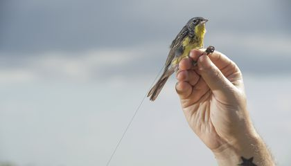 A hand with a star tattoo on the inside of the wrist holds a Kirtland's warbler in the air