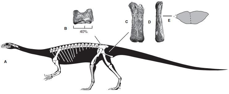 20110520083257anchisaurus-skeleton.jpg