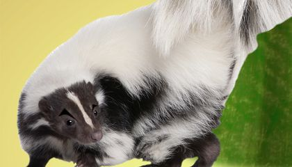 Ask Smithsonian: What Makes Skunk Spray Smell So Terrible?