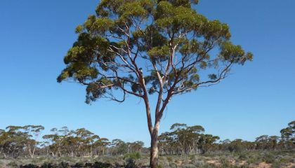 Gold Particles in Eucalyptus Trees Can Reveal Deposits Deep Underground