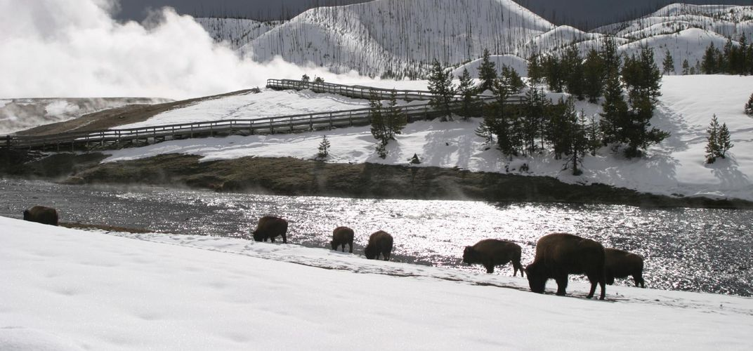 Bison in Wyoming amid a snowy landscape