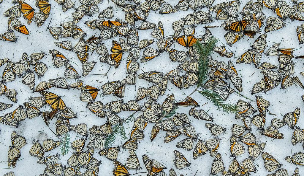 Monarch butterflies on the forest in El Rosario Butterfly Sanctuary, in Michoacán, Mexico, after strong snowstorm in March, 2016