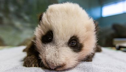 The National Zoo Reveals Its New Panda Cub's Name