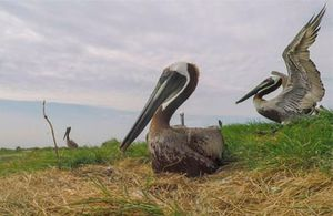 Brown pelicans banded on Adam Island
