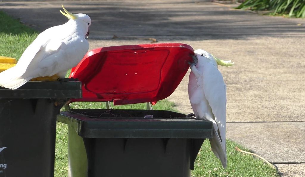 Watch and learn—a cockatoo observes its bin-busting buddy from the sidelines.