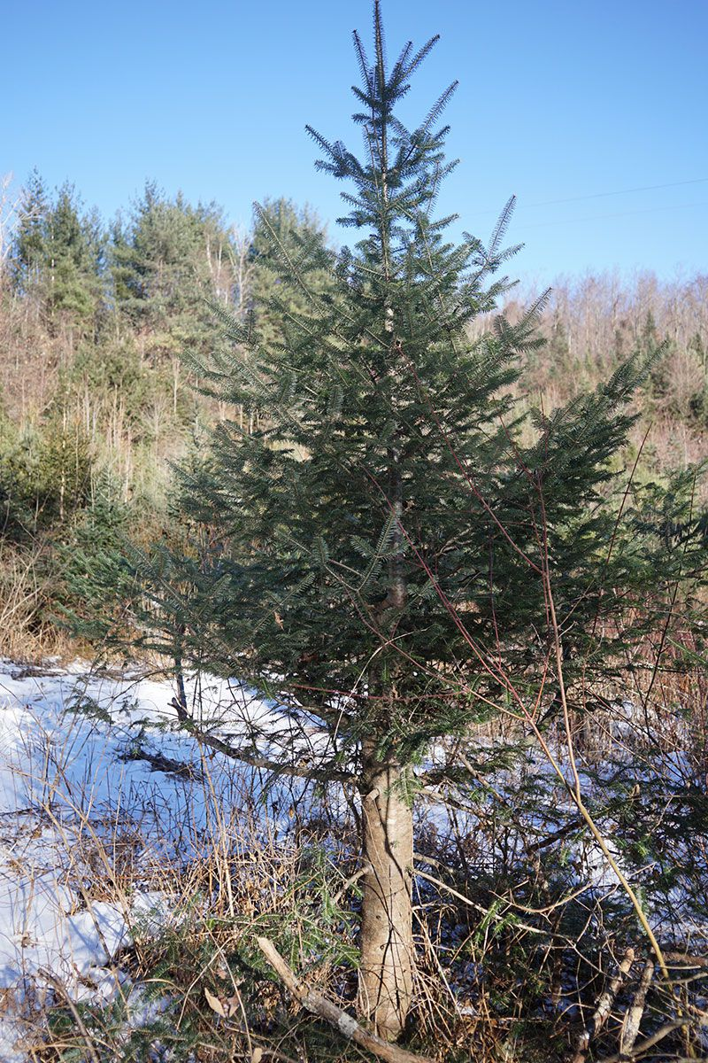 Christmas Tree Farm Photos.Stump Grown Christmas Trees Are The Gift That Keeps On