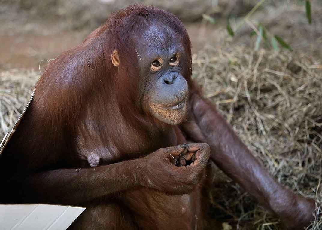 Batang, mother orangutan