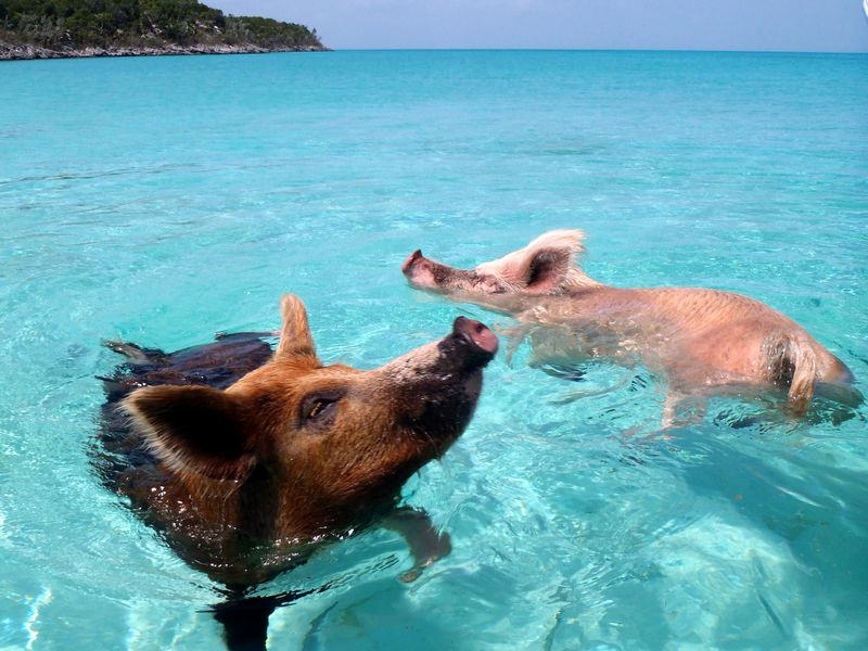 What Killed More Than Half A Dozen Of The Bahamas Swimming Pigs - Bahamas